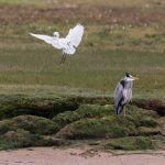 Little Egret Lossie estuary 26 Aug 2017 David Main 2