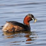 Little Grebe Loch Spynie 12 May 2017 Gordon Biggs P