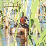 Little Grebe Loch Spynie 17 May 2017 Lisa Stewart