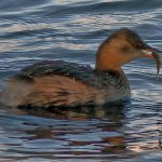 Little Grebe Loch Spynie 17 Nov 2017 Jack Harrison
