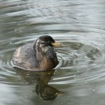 Little Grebe Loch Spynie 24 Sep 2017 Martin Cook