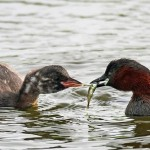 Little Grebe Loch Spynie 27 Jul 2016 Gordon Biggs P
