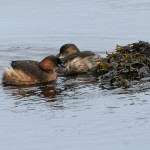 Little Grebe Lossie estuary 17 Feb 2016 Tony Backx P