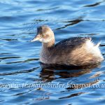 Little Grebe, Nairn 14 Jan 2017 (Seamus McArdle) 1
