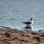 Little Gull 1stW Lossie estuary 26 Sept 2013 David Main