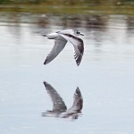 Little Gull 1stW Lossie estuary 4 Oct 2013 Gordon Biggs 4