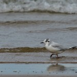 Little Gull Findhorn 4 Aug 2014 David Main