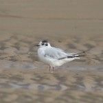 Little Gull Findhorn beach 6 Jul 2016 Richard Somers Cocks P