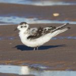 Little Gull Findhorn beach 6 Sep 2016 Richard Somers Cocks 2