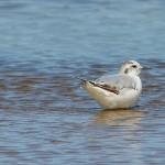 Little Gull Lossie estuary 21 July 2014 David Main