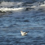 Little Gull Lossiemouth 25 Jan 2014 Martin Cook 2