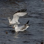 Little Gull Lossiemouth 8 Oct 2013 David Main 1