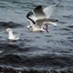 Little Gull Lossiemouth 8 Oct 2013 David Main 2