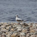 Little Gull Tugnet 16 May 2014 Richard Somers Cocks 1