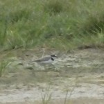 Little Ringed Plover Spey estuary 10 July 2014 Martin Cook