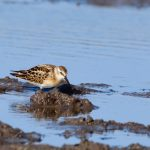 Little Stint Balormie pig farm 26 Sep 2017 Ron Macdonald