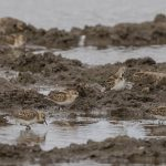 Little Stint Balormie pig farm 27 Sep 2017 David Main 1 P