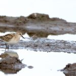 Little Stint Balormie pig farm 29 Sep 2017 Ron Macdonald