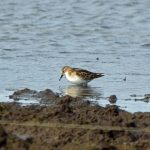 Little Stint Balormie pig farm 8 Oct 2017 Gordon Biggs
