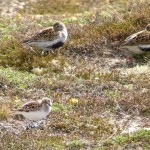 Little Stint Findhorn 24 May 2015 Richard Somers Cocks