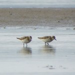 Little Stint Findhorn Bay 10 Sept 2014 Gordon McMullins 1
