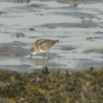 Little Stint Lossie estuary 15 Sep 2016 Duncan Gibson