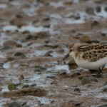 Little Stint Lossie estuary 9 Oct 2013 David Main