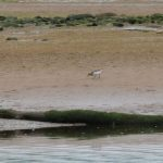 Little Stint Spey estuary 23 May 2018 Martin Cook
