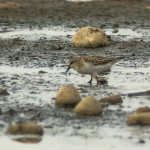 Little Stint Wester Delnies 5 Sept 2014 Seamus McArdle