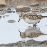 Little Stint, Wester Delnies 8 Sept 2014 (Derek McGinn)