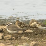Little Stint Wester Delnies 9 Sept 2014 Seamus McArdle