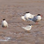 Little Tern Findhorn beach 19 Jul 2016 Richard Somers Cocks P