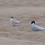 Little Tern Findhorn beach 7 Jul 2016 Richard Somers Cocks P