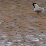 Little Tern Lossie estuary 22 Aug 2014 David Main