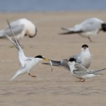 Little Terns Findhorn 10 Aug 2016 Richard Somers Cocks P
