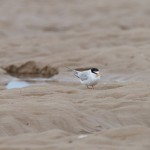 Little Terns Findhorn 24 Jul 2016 Richard Somers Cocks
