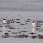 Little Terns Findhorn Bay 5 Jul Richard Somers Cocks 1