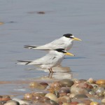 Little Terns Lossie east beach 20 July 2013 Richard Somers Cocks 1