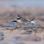 Little Terns Lossie east beach 6 June 2013 Margaret Sharpe