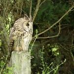 Long eared Owl Moyness 15 Jul 2015 Alison Ritchie 1 P