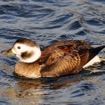 Long tailed Duck Burghead 12 Jan 2017 Gordon Biggs 2