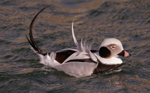 Long-tailed Duck, Burghead 16 Feb 2014 (Tony Backx)