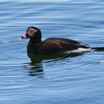 Long tailed Duck Burghead 17 Apr 2013 Tony Backx