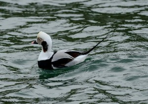 Long-tailed Duck, Burghead 24 Jan 2014 (David Main) 2
