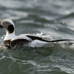 Long tailed Duck Burghead 28 Dec 2016 David Main 1