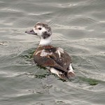 Long tailed Duck Burghead 7 Dec 2013 Gordon Biggs