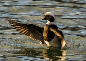 Long-tailed Duck, Hopeman harbour 20 Feb 2014 (David Main)