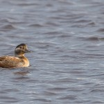 Long tailed Duck Lossie estuary 12 Oct 2014 David Main