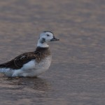Long tailed Duck Lossie estuary 31 Oct 2015 David Main