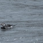 Long tailed Duck Lossiemouth harbour 7 Oct 2014 David Main